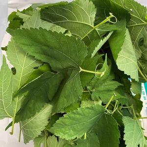 桑の葉 100g 100~130枚程度 シルクワーム アゲハ 幼虫 蚕 シルクワーム ウサギ ハムスター 小動物 エサ 亀