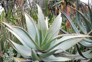 ~珍種!アロエ・グラウカ (Aloe glauca ) の種15粒~