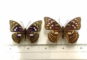 国産蝶標本 オオムラサキペア