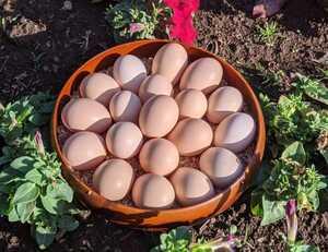 烏骨鶏の有精卵1個150円