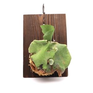 ビカクシダ アンティス 送料無料 P.Antis 板付け 観葉植物 エレファントティス アンディナム ビザールプランツ P2108-16