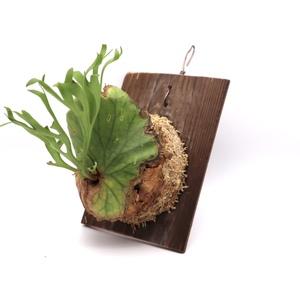 ビカクシダ キッチャクード 送料無料 P. Mt.Kitshakood thin 板付 観葉植物 コウモリラン プラティケリウム ビザールプランツ P2108-07