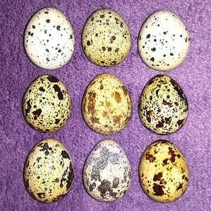 並うずらの有精卵6個 色変わり並ウズラの種卵