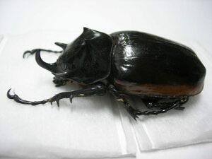 昆虫標本★ミャンマー産ハードウィッケゴホンヅノカブト♂59.5ミリ