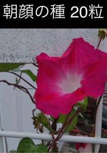 朝顔 種子 20粒 今年採取 ピンク