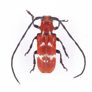 C. venustum 15 カリメーションヴィニュースタム標本 マダガスカル