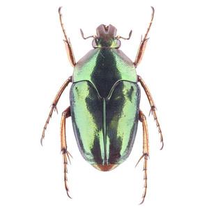 M. xanthopus 03 イリアンノコバカナブン標本 アルファック