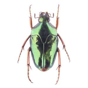 M. xanthopus 23 イリアンノコバカナブン標本 アルファック