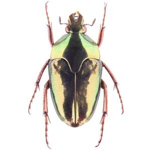 M. xanthopus 16 イリアンノコバカナブン標本 アルファック