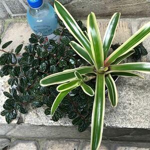 観葉植物 ネオレゲリア&ペリオニア