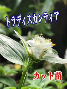 観葉植物 トラディスカンティア カット苗