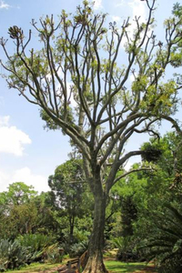 2021/04/25入荷 コモロ諸島の塊根植物  Cussonia spicata 壷天狗 種子20粒  種 実生 (A18) 熱帯植物