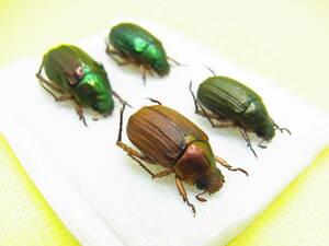 ★美麗甲虫の比較標本★高知県産スジコガネ+オオスジコガネ 各2頭