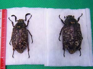 ★レア甲虫の標本★高知県産ヒゲコガネ ペア2頭