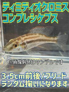 ディミディオクロミスコンプレシケプス/3.5cm前後/ブリード個体/アフリカンシクリッド/ランダム掬い