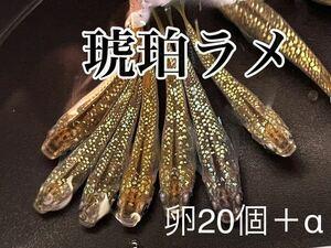 ☆☆琥珀ラメ 有精卵20個+α☆☆ めだか ラメ 美種 メダカ