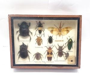 色々な昆虫 標本 世界の昆虫 セット