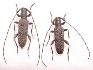 ●●シマトゲバカミキリpair 奄美大島●●国産 日本産 日本産 日本産甲虫 国産甲虫 昆虫 甲虫 虫 カミキリ カミキリムシ 標本