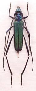 ●●ヤクシマミドリカミキリ♀ 屋久島①●●国産 日本産 日本産 日本産甲虫 国産甲虫 昆虫 甲虫 虫 カミキリ カミキリムシ 標本