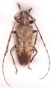 ●●ビロウドカミキリ♀ 大分県●●国産 日本産 日本産 日本産甲虫 国産甲虫 昆虫 甲虫 虫 カミキリ カミキリムシ 標本