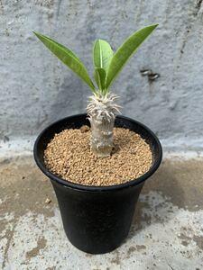 Pachypodium パキポディウム 伊藤ハイブリッド プラ鉢約9cm デンシフローラム ホロンベンセ ロスラーツム 実生