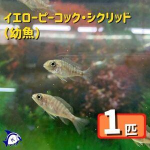 熱帯魚 イエローピーコックシクリッド 幼魚 1匹 ※カラー/雌雄の指定不可 アフリカンシクリッド