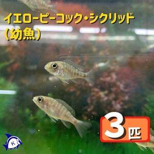 熱帯魚 イエローピーコックシクリッド 幼魚 3匹 ※カラー/雌雄の指定不可 アフリカンシクリッド