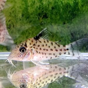 熱帯魚 コリドラス・アガシジィ 1匹 ※雄雌のご指定不可