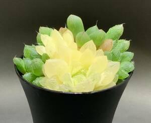 多肉植物 ハオルチア オブツーサ錦 大株です 白黄色 95mm. 21