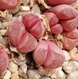 種子10粒 リトープス オプティカ ルブラ 紅大内玉 Lithops optica cv Rubra 紅色 透き通ったピンク色 人気美種