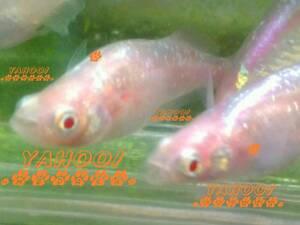 【 激レア 】【桃魔王】 スーパー 魔王 改 の血統 アルビノ メダカ 卵 25個+α (合計 約30個程)ヒカリ体型 ピンク ラメ めだか