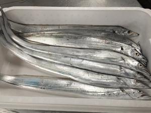愛媛 ( タチウオフィーレ ) 天然一本釣り 50g×10枚/5匹分 冷凍 真空パック 浜から直送 送料無料 宇和海の幸問屋