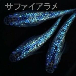 【夢&P】★卵★ サファイアラメ幹之メダカの有精卵、10個+α