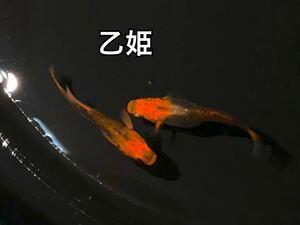 乙姫 おとひめ めだか メダカ卵 有精卵20個+α (楊貴妃 紅帝 ラメ 五式 オーロラ オロチ 幹之夜桜 ヒレ長 )