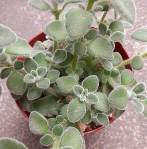 オマケつき 多肉植物 ハーブ シルバーグラス プレクトランサス カット苗2本☆2~3cm程の大きさ、長さ
