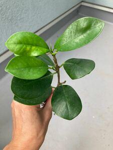 観葉植物 パンダガジュマル 抜き苗 根付き