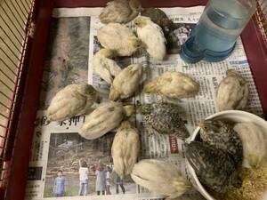 ヒメウズラ 有精卵 9個+1個(割着補償) 24