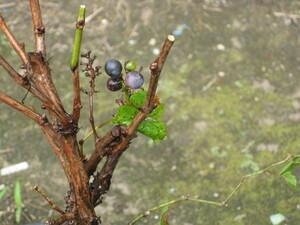 一才山ブドウ 鉢植え