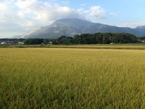 獲れたて!新米令和3年度産 近江米 伊吹産 キヌヒカリ玄米30kg(無洗米可) 有機肥料 減農薬 自家栽培