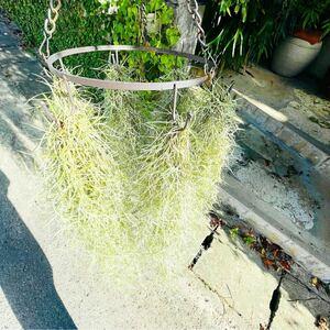 (特大SALE)チランジア ウスネオイデス 6束セット エアプランツ スパニッシュモス 吊り下げフック6個付き