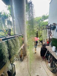 (特大サイズ)ウスネオイデス 細葉グリーン 120センチ エアプランツ スパニッシュモス