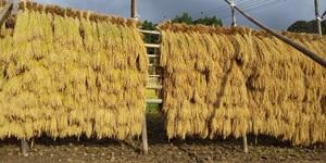 令和3年度島根県雲南市産コシヒカリ玄米 ハデ干し(天日干し) 30㎏