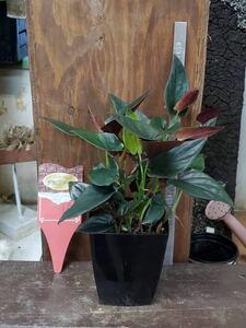 観葉植物 シンゴニウム・チョコレート4寸プラスチック鉢