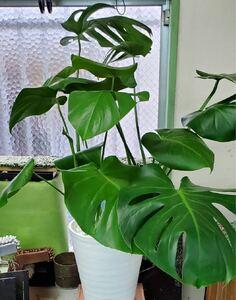 観葉植物 モンステラ8寸  現品限り