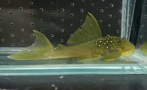 即決 1匹 ゴールデンブルーフィンペコルティア 約8cm※九州地方、沖縄県、北海道には発送出来ません※