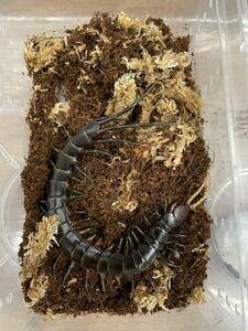 即決 1匹 ブトンブラックオオムカデ 約12~15cm※九州地方、沖縄県、北海道には発送出来ません※