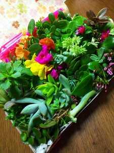★多肉植物カット苗 箱にいっぱい!25種類