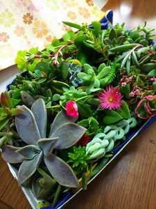 ☆☆多肉植物カット苗 箱にいっぱい!25種類