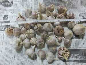 高知県産 遠州極早生 種子用 食用 ニンニク にんにく 2kg