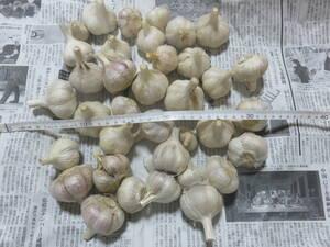 高知県産 平戸ニンニク 種子用 食用 ニンニク にんにく 1kg